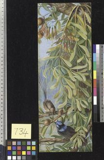 734. Australian Sandal Wood with Mistletoe and Emu Wren, West Au