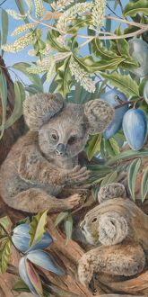 735. Australian Bears and Australian Pears