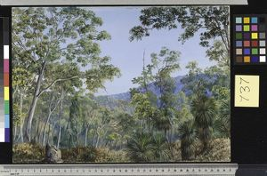 737. Gum Trees, Grass-trees, and Wattles in a Queensland Forest