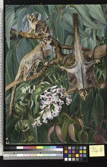 746. Foliage of a Gum Tree and Flowers of Tecoma, with Flying Op