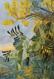 botanical art/marianne north/766 flowers flame tree yellow black twiner west