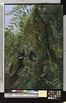 771. Nest of the Coachman's Whip Bird, in a Bunya-Bunya, Queensl