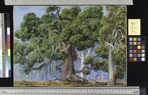 779. An Old Currajong Tree, New South Wales