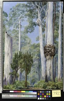 782. Karri Gums, near the Warren River; West Australia