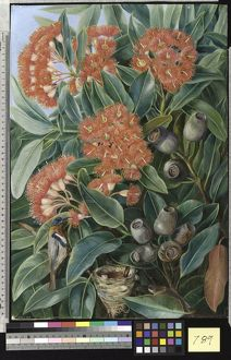 789. Flowers and Seed-vessels of a West Australian Gum Tree and