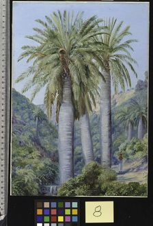 8. Chilian Palms in the Valley of Salto
