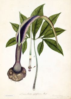 Arum sessiliflorum, Roxb.