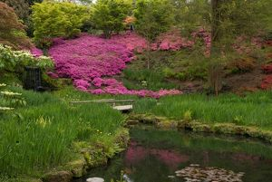 Azaleas in the Iris Dell, Wakehurst Place