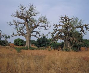 Baobabs on the road between Niangoloko and Banfora