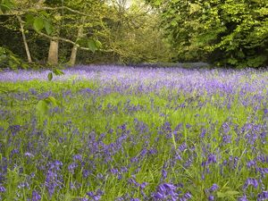 Blubells in the Conservation Area