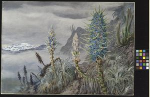 The Blue Puya and Cactus at home in the Cordilleras by Marianne North