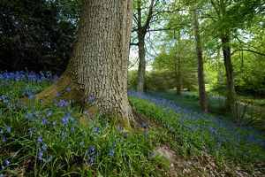 Bluebells in woodland at Wakehurst place