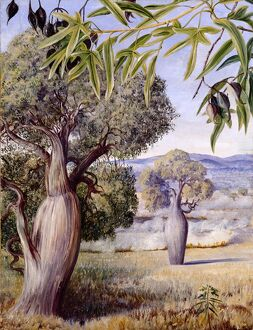 'The Bottle Tree of Queensland'.