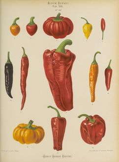Capsicums or Chilli Peppers