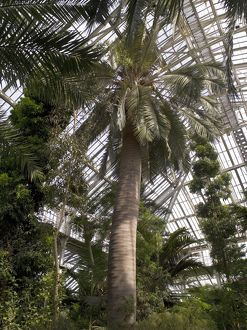 chilean wine palm, Temperate House interior