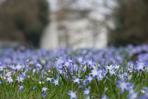 Chionodoxa planting in front of the Orangery