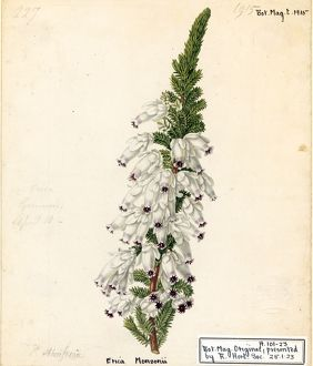 Erica monsoniae, L.f. (Lady Ann Monson's Heath)