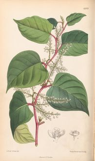 Fallopia japonica - Japanese Knotweed