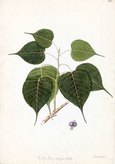 Ficus religiosa Willd. (Peepul, pipal, pipul or bo-tree).