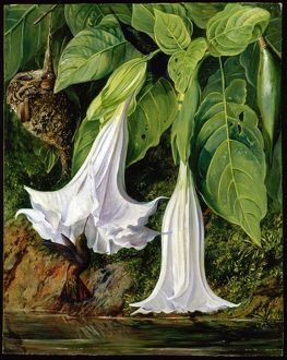 'Flowers of Datura and Humming Birds, Brazil'