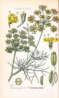 plants fungi/edible plants/foeniculum officinale fennel