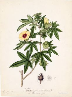 Gossypium herbaceum, Willd. (Cotton)