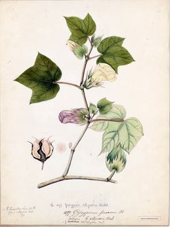 Gossypium religiosum, Willd. (Nankeen or brown cotton)