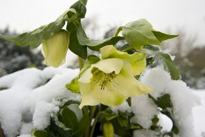 Helleborus niger in the snow
