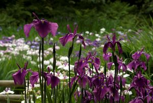 Iris Garden at wakehurst Place