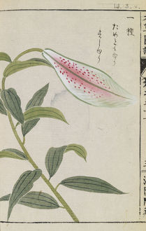 Botanical Illustration LI 3 v from Honzo Zufu by Iwasaki Tsunemasa; Kan'en