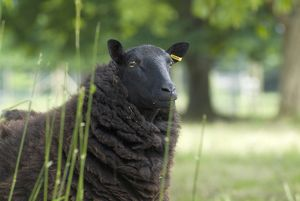 Kew sheep