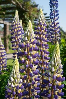 Lupinus 'The Govenor'
