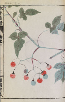 Botanical Illustration XXX 18 r from Honzo Zufu by Iwasaki Tsunemasa; Kan'en