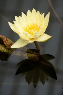 Nymphaea 'Carla's Sonshine'