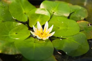 Nymphaea thermarum is the smallest waterlily in the world
