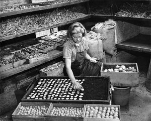 Potato tuber slices being dried in trays of peat, WWII