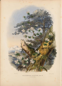 Rhododendron Dalhousiae (frontispiece), 1849
