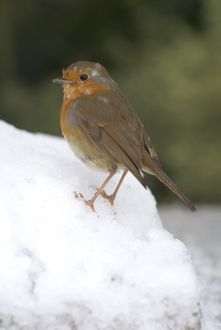 A robin in winter