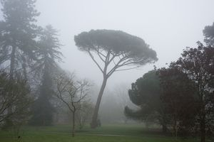 Stone Pine in the mist