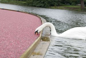 swan and cranberries