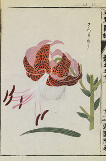 Botanical Illustration LI 12 v from Honzo Zufu by Iwasaki Tsunemasa; Kan'en