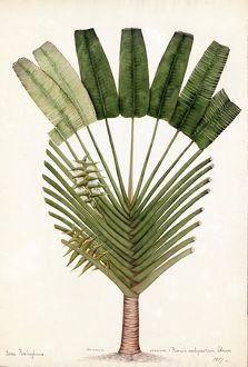 Urania speciosa, Willd.(Ravenala madagascariensis, 'Traveller's Palm')