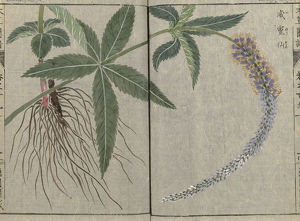 from Iwasaki Tsunamesa's Honzo Zufu (Illustrated Manual of Plants) of 1921