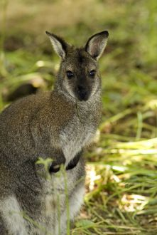 wallaby at Kew