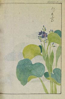 Botanical Illustration XXX III 5 v from Honzo Zufu by Iwasaki Tsunemasa; Kan'en