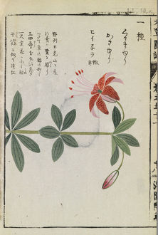 Botanical Illustration LI 18 v from Honzo Zufu by Iwasaki Tsunemasa; Kan'en